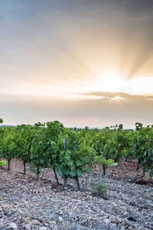 Côtes du Rhône: the grapes growing