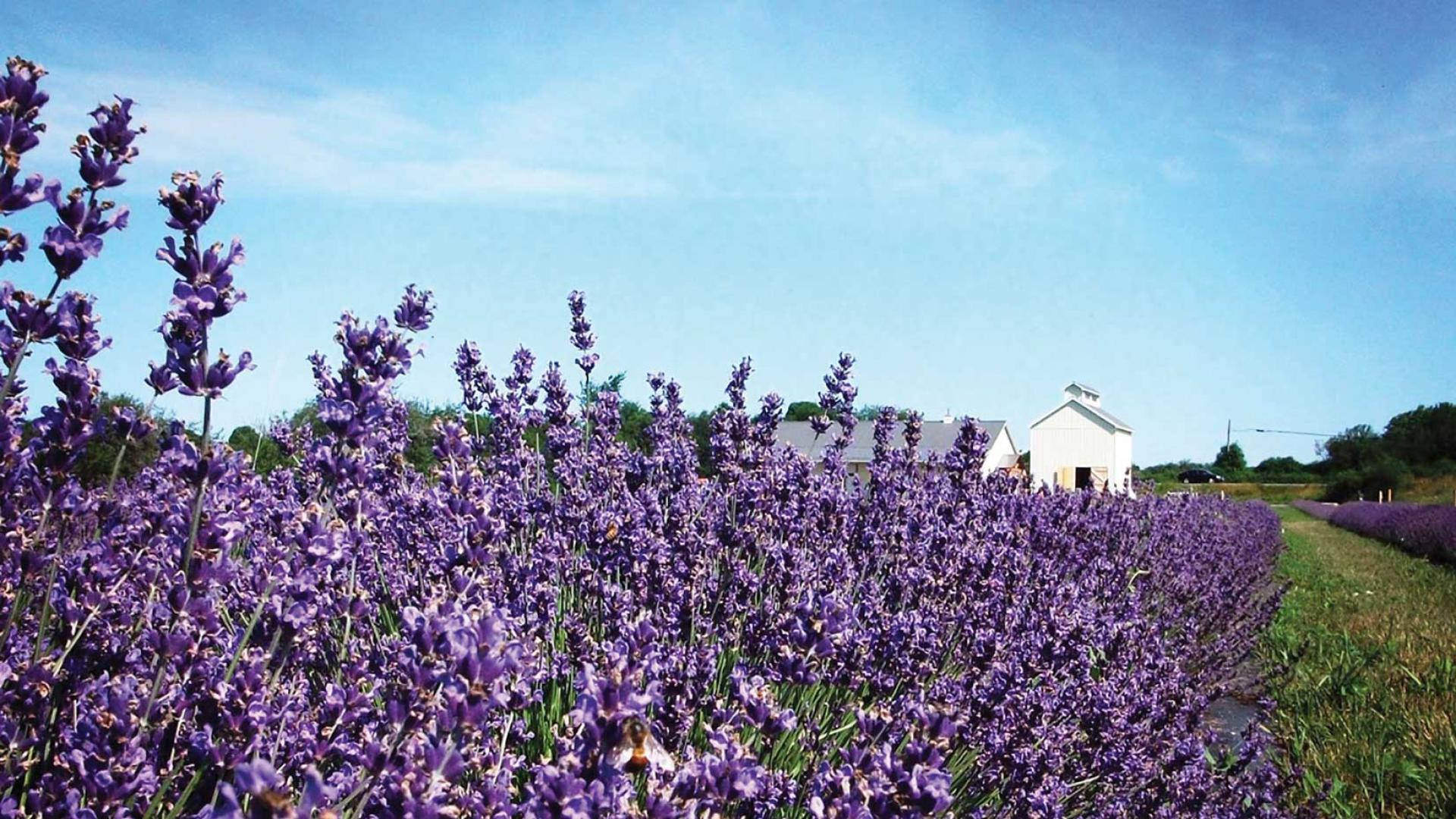 Canadian mead: Lavender fields
