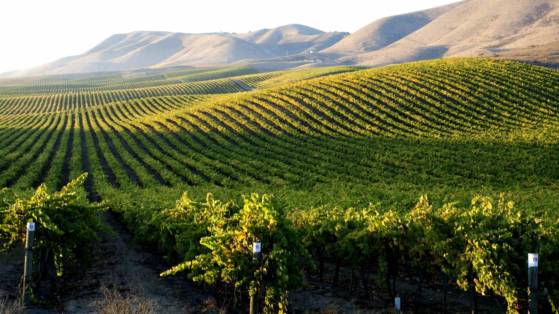 jackson-family-wines-cambria-vineyard