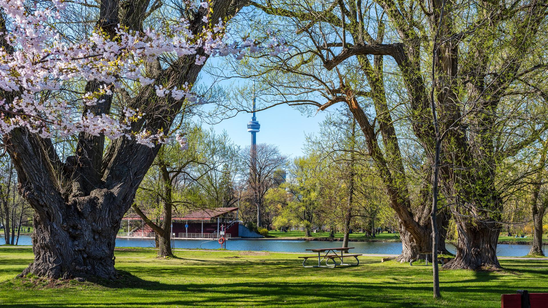 Things to do in Toronto this June | Cherry blossom trees frame a view of the CN Tower