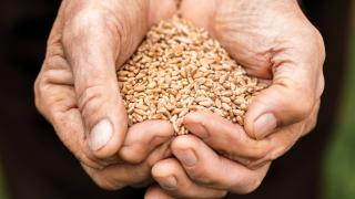 Blue Zone diet | a handful of grains