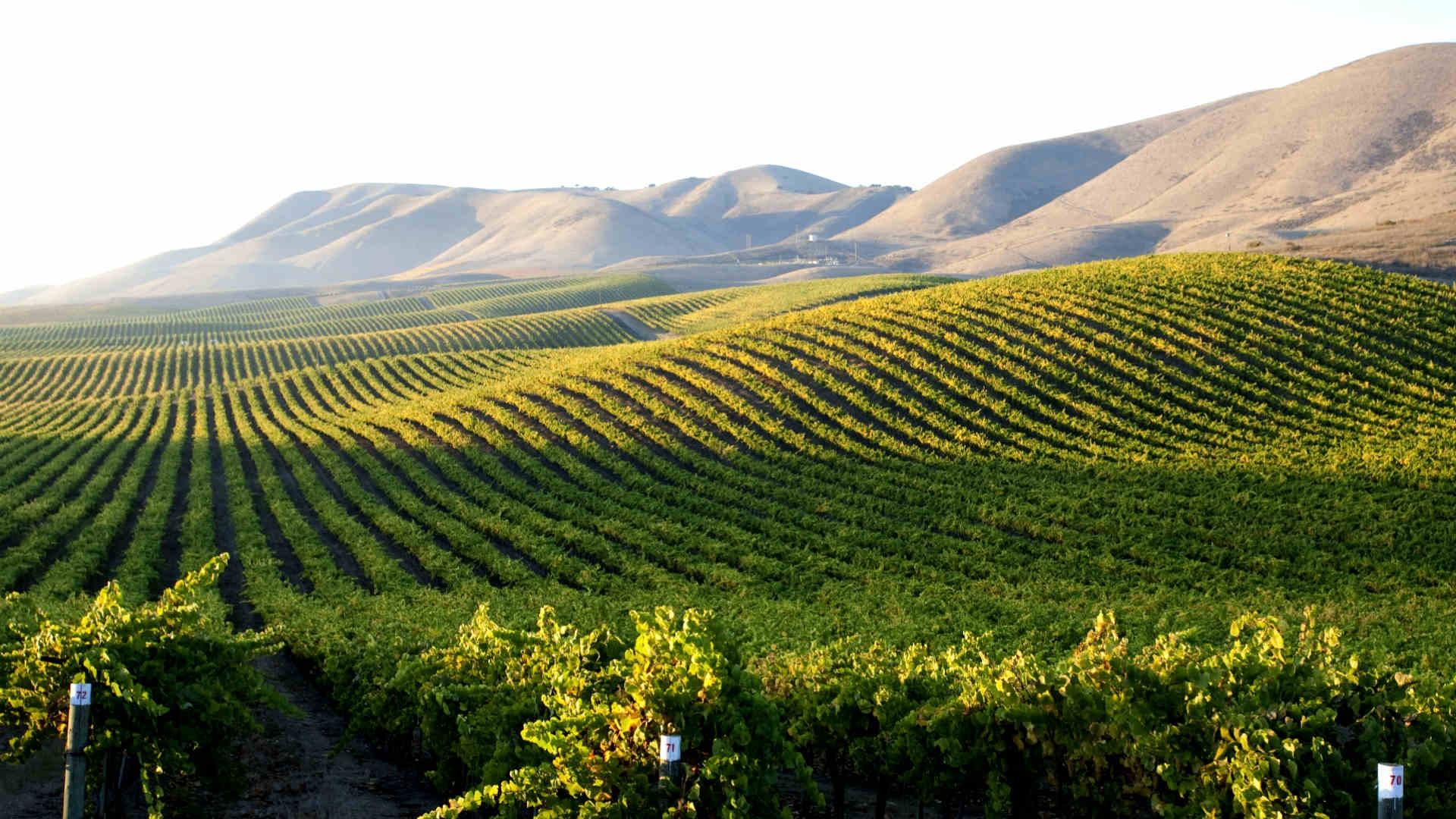 Cambria Vineyard (Jackson Family Wines)