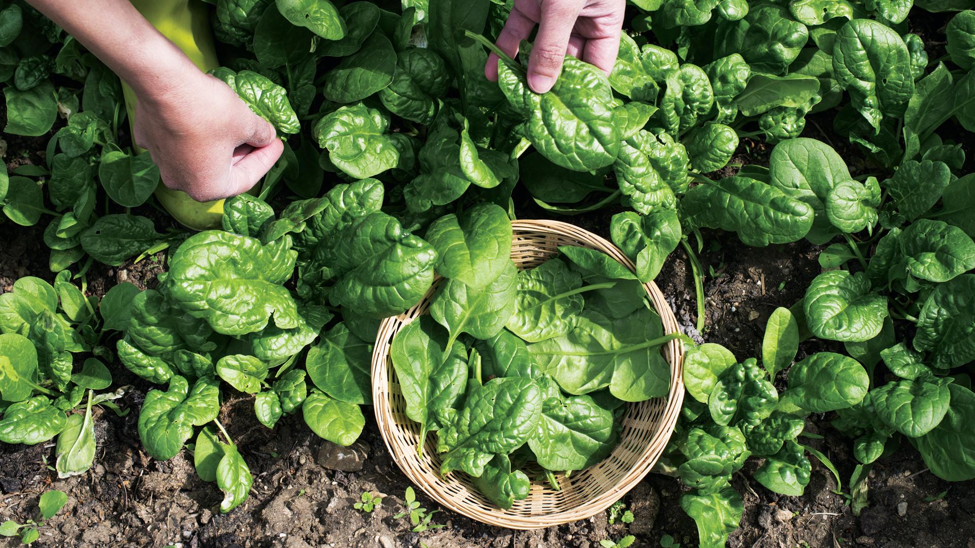 Growing salad greens in your indoor garden