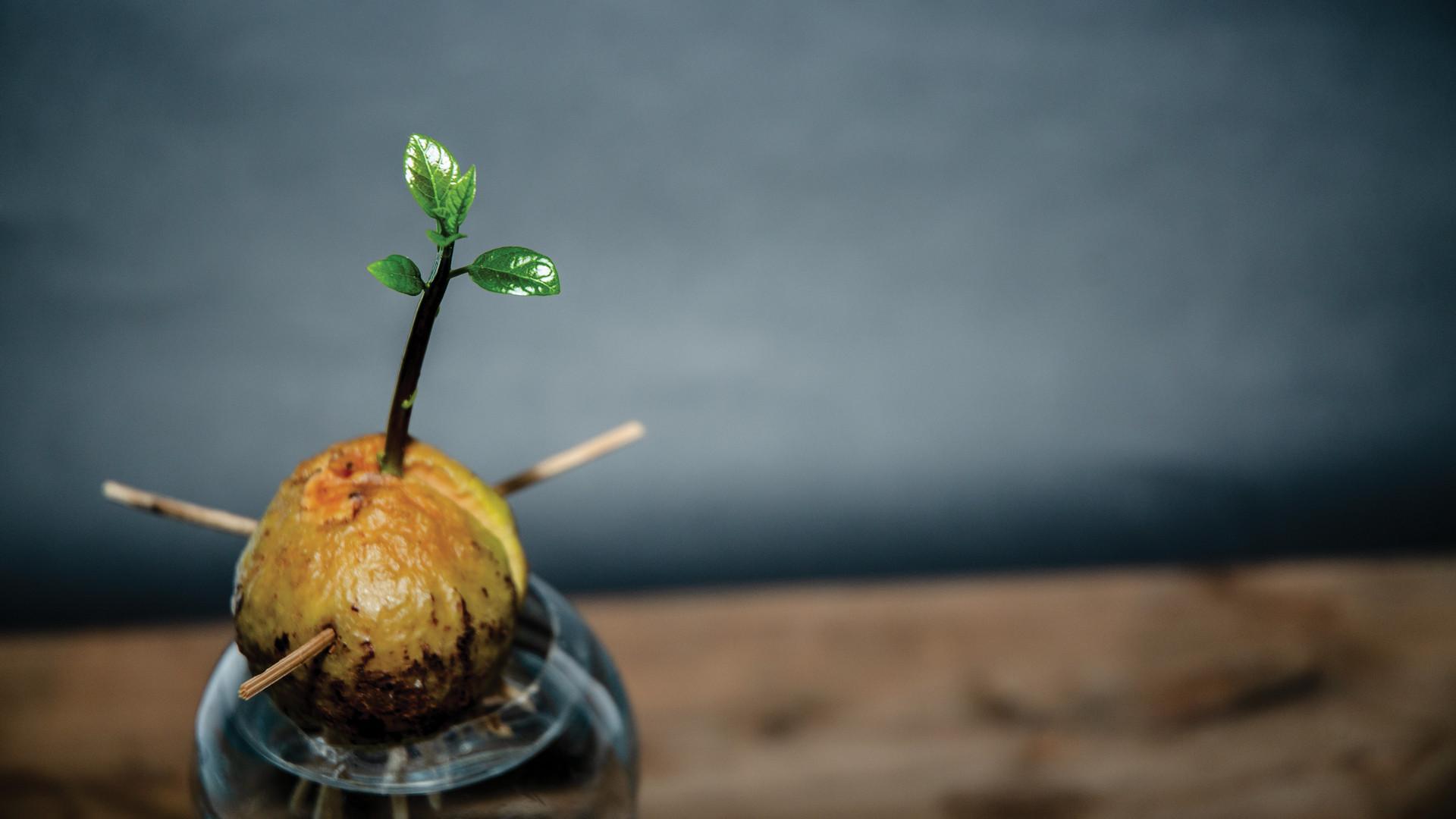 Growing an avocado tree in your indoor garden
