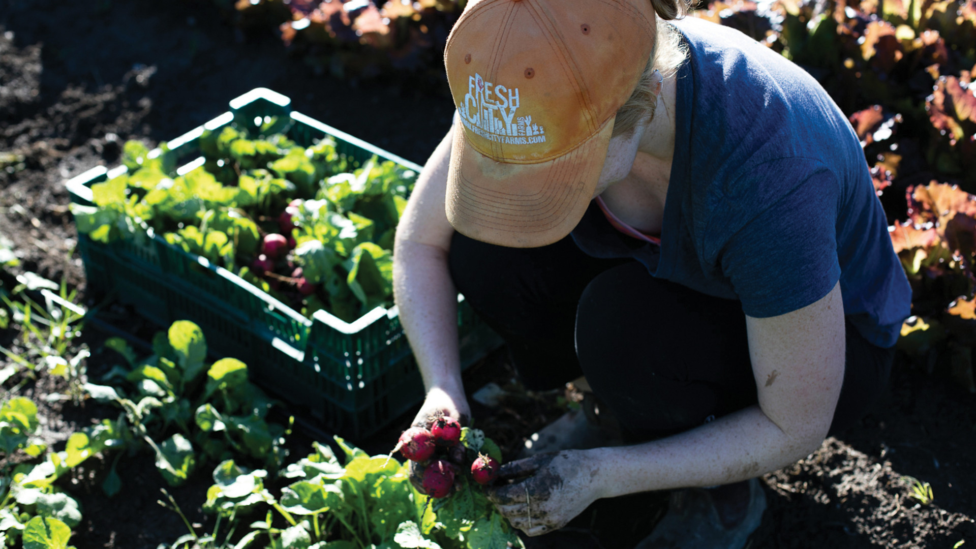 Someone harvesting produce for Fresh City Farms