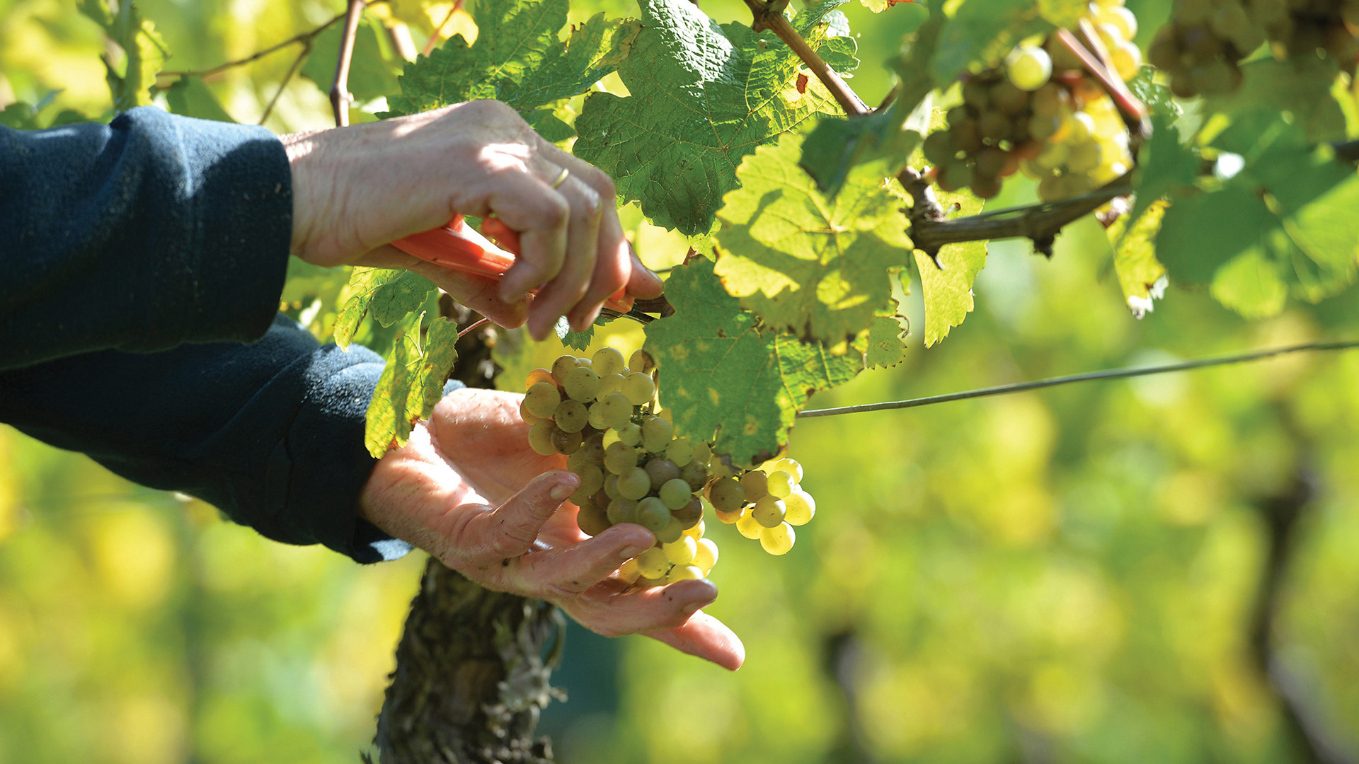 Wines of Germany | Riesling grapes