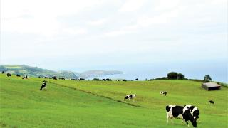 Azorean cheese from Portugal's Azores islands   Cows grazing