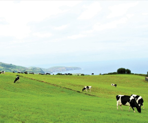 Azores cheese | The rolling fields and cows of the island